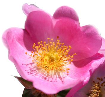 La Rose Musquée sauvage du Chili