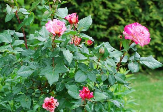 Sauver ses rosiers grâce à l'agriculture biologique